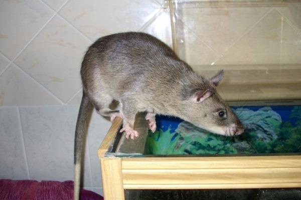 Экосистемная роль крысы