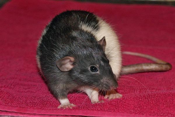 Наблюдаем за крысой в послеоперационный период