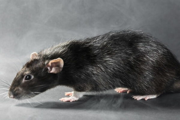 Черная крыса обитает почти во всех местах планеты