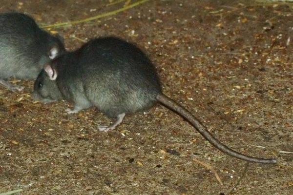 Черные крысы любят жить возле водоемов