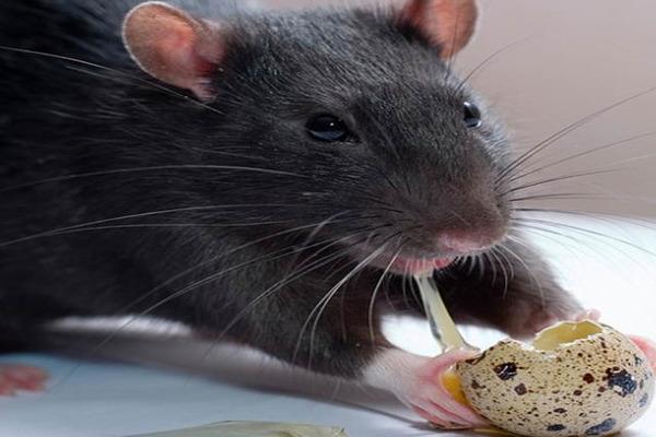 Питание черной крысы