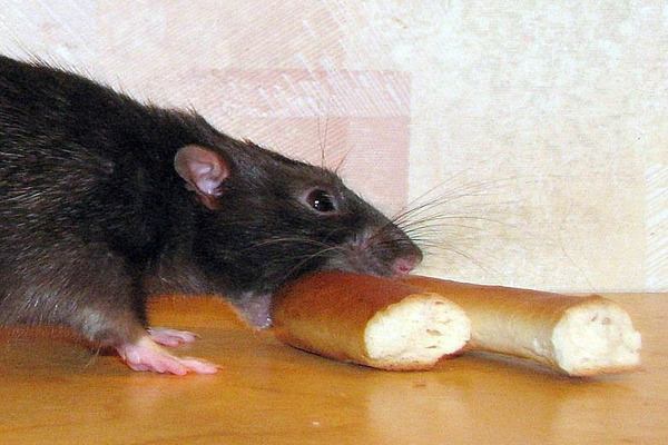 Этот вид крысы не отличается прожорливостью