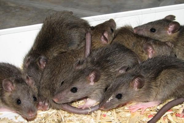 Месячные крысята уже самостоятельные