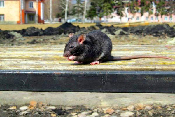 Черные крысы живут возле людей