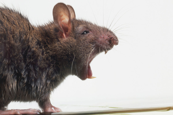 Дикая крыса представляет для человека угрозу