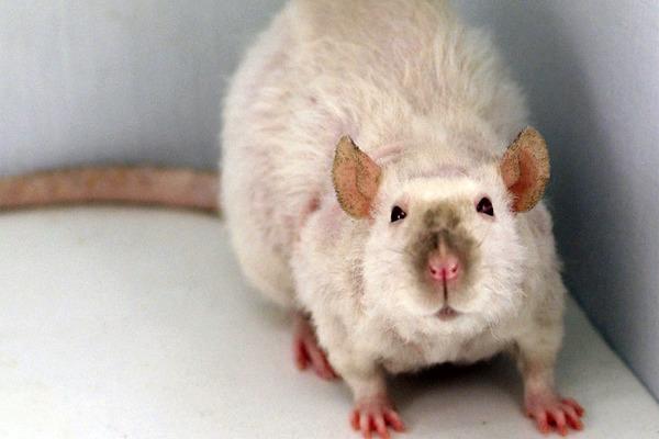 Курчавость шерстяного покрова крысы породы Рекс