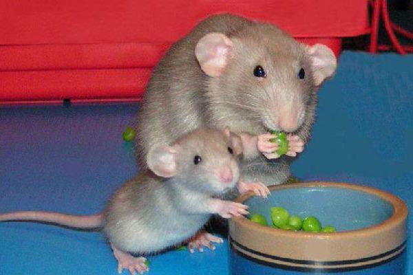 Питание крысы