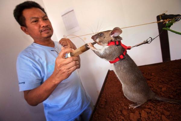 Содержание крысы-гамбийки