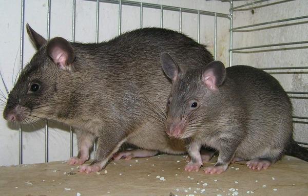 Гамбийская крыса с малышом