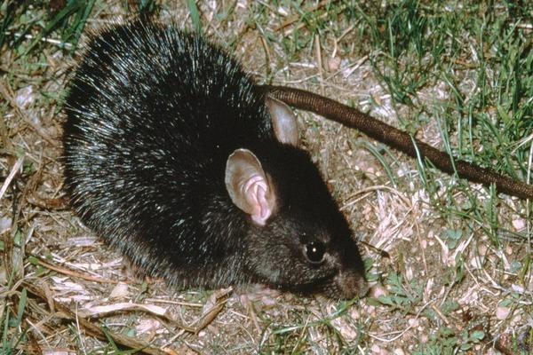 Внешний вид черной крысы