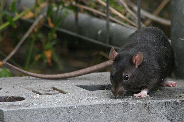 Черная крыса немного меньше своих серых сородичей